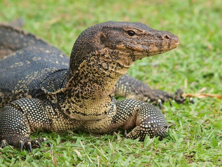 Closeup of monitor lizard - Varanus on green grass focus on the varanus eye. Stock Photo - 13447907