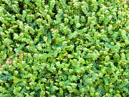 Green wall of Ivy leaves, nature background, texture photo