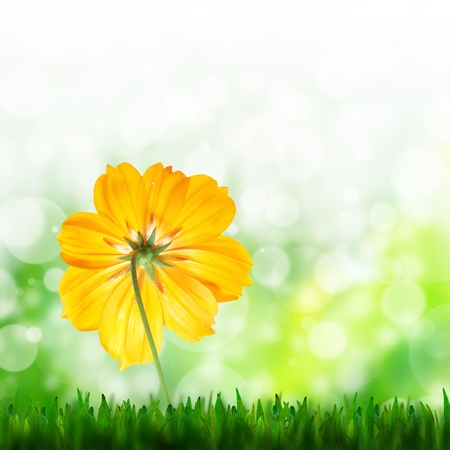 natural green background and yellow flower of cosmos photo