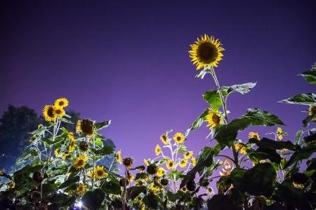 gold en: sunflowers in dark field at night Halloween concept