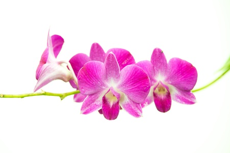 dendrobium: beautiful bright pink purple dendrobium orchid flower branch isolated on white Stock Photo