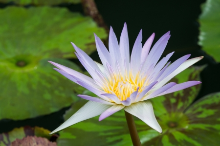 Blooming white water lily above the water surface photo
