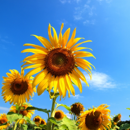 Sunflower Stock Photo - 16676615