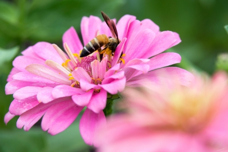 hover: Hover flies on pink Zinnia Stock Photo