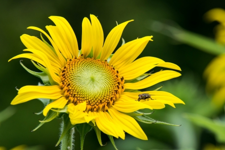 hover: Hover fly on sunflower