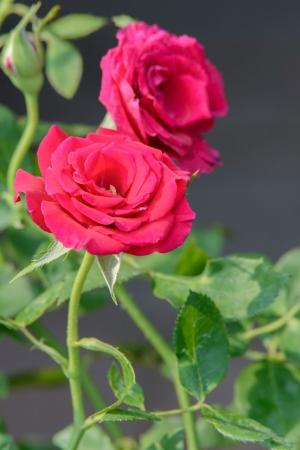 Rozen op een struik in een tuin Stockfoto