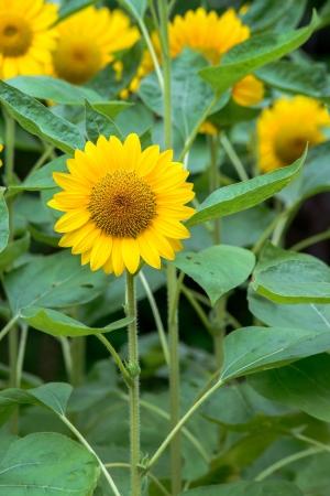helianthus annuus: Sunflower