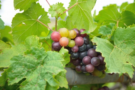 Grapes on the Vine  photo