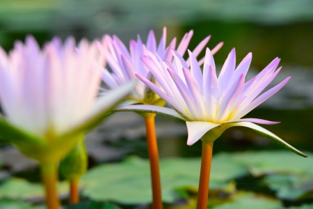 Close-up of colorful pink water lily photo