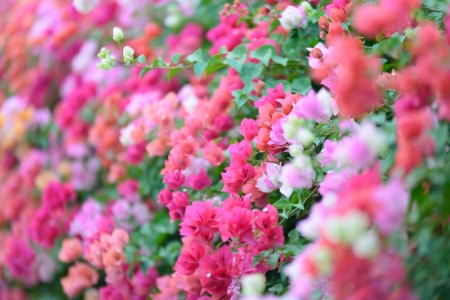Bougainvillea blooms in the garden, soft focus photo