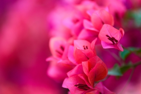 Pink bougainvillea blooms in the garden, soft focus photo