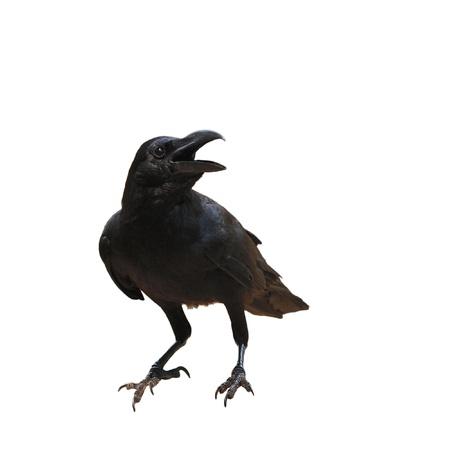 corbeau: oiseau corbeau isoler sur fond blanc Banque d'images