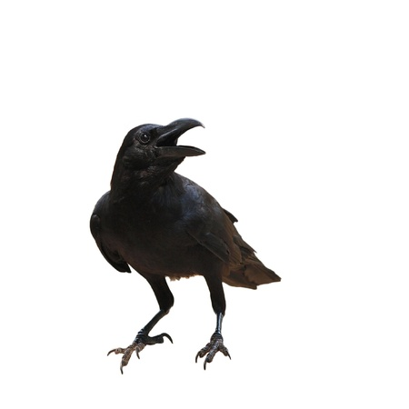 corax: raven bird isolate on white background Stock Photo