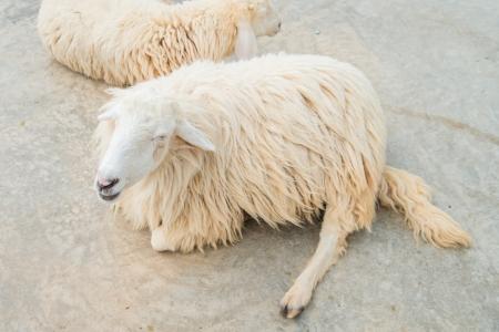 agri: White Woolly Sheep