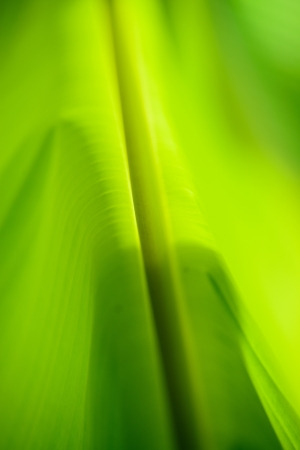Banana leaves,Soft focus photo