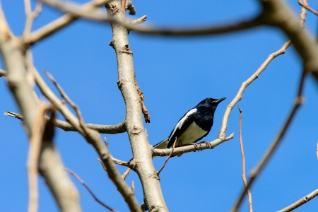 Magpie perching on a tree photo
