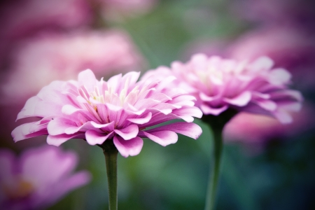 Vintage Pink Zinnia flowers photo