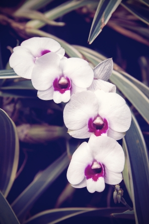 Vintage tone of White dendrobium orchid flower photo