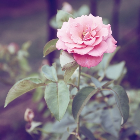 Vintage Roses on a bush in a garden photo