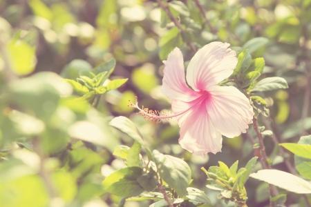 rosemallow: Vivid rosa hibicus sta fiorendo (Tono Vintage)