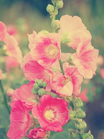 Pink hollyhock (Althaea rosea) blossoms vintage tone style photo