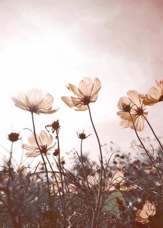 Vintage Cosmos bloemen in zonsondergang tijd