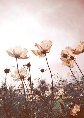 Vintage Cosmos flowers in sunset time photo