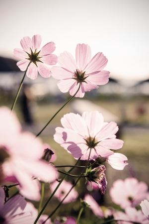 Cosmos flowers (vintage tone)  photo