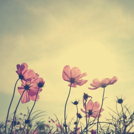 Vintage Cosmos flowers in sunset time Stock Photo