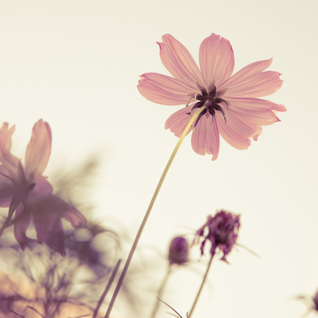 Vintage Cosmos flowers and sky photo
