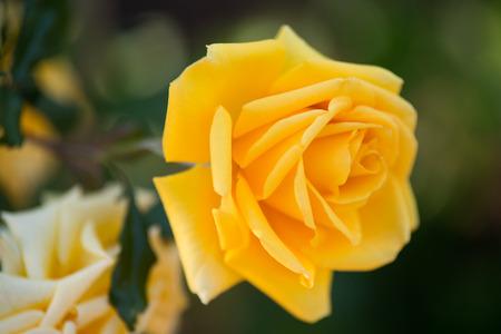 rosas amarillas: Rosas amarillas en un arbusto en un jardín Foto de archivo