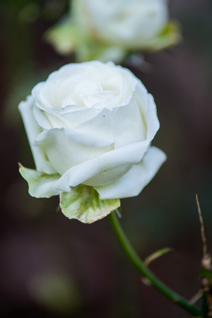 White rose flowers with buds in garden stock photo picture and stock photo white rose flowers with buds in garden mightylinksfo