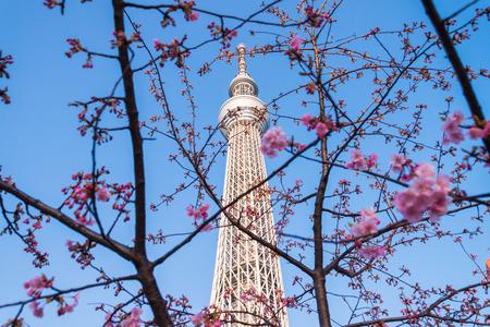 urban redevelopment: Sakura cherry blossoms tree with Tokyo sky tree, Japanese radio tower