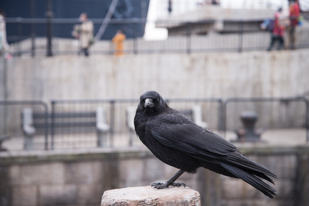 curve claw: raven sitting on a stone. focus on head.