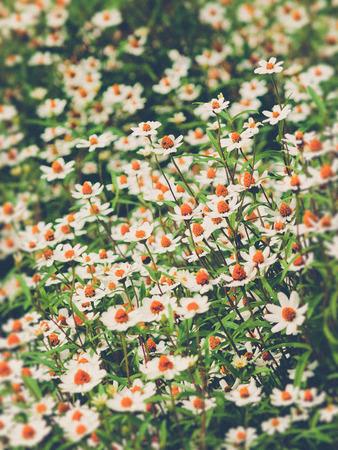 campo de flores: campo de flores de margarita (efecto de filtro utilizado vendimia)