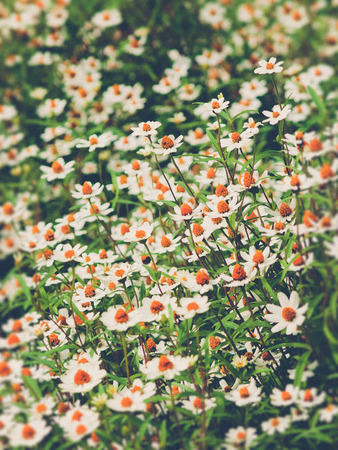 field flower: field of daisy flowers (Vintage filter effect used) Stock Photo