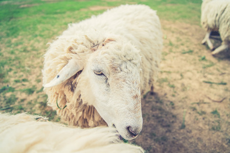 woolly: White Woolly Sheep in a Green Field (Vintage filter effect used)