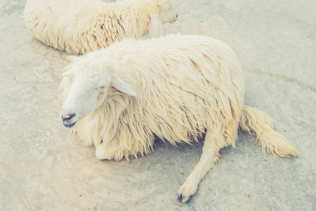 woolly: White Woolly Sheep (Vintage filter effect used) Stock Photo