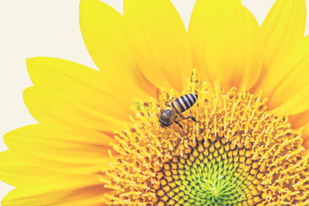 Close Up of Sunflower with bee (Vintage filter effect used)