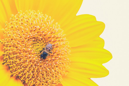 syrphidae: Close Up of Sunflower with bee (Vintage filter effect used)