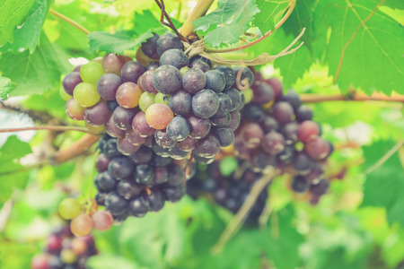 syrah: Grapes on the Vine (Vintage filter effect used) Stock Photo