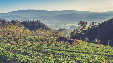 agriculturalist: strawberry garden at Doi Ang Khang , Chiang Mai, Thailand. (Vintage filter effect used)