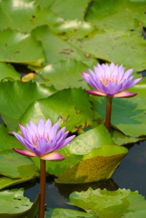Lotus flower and leaf photo