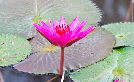 Pink lotus flower and green leaf in water photo