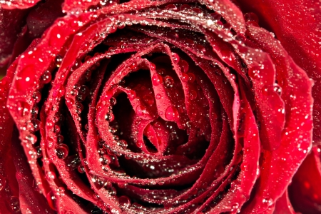 Red rose closeup photo