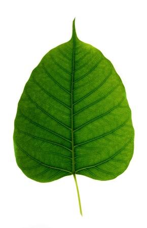 green leaf vein   bodhi leaf   on white background  photo