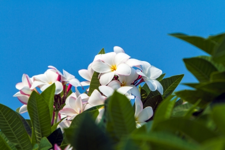 Plumeria in Thailand photo