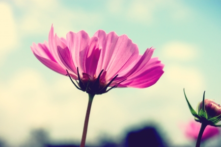 Cosmos flowers and blue sky photo