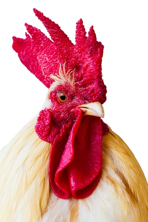 An adult rooster on white background  isolated Archivio Fotografico