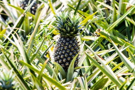 Unripe pineapple fruits in the field, Thailand